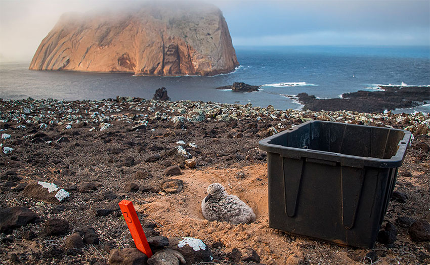 A black-footed albatross chick on Guadalupe Island