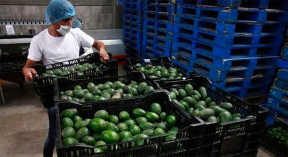 Avocados were the No. 2 export