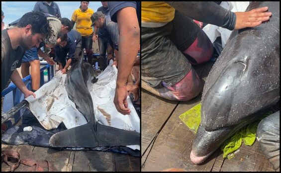 Rescuers with one of the two bottlenose dolphins in Sinaloa.