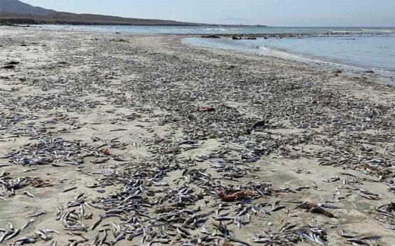 Dead sardines on a beach in Mulegé.