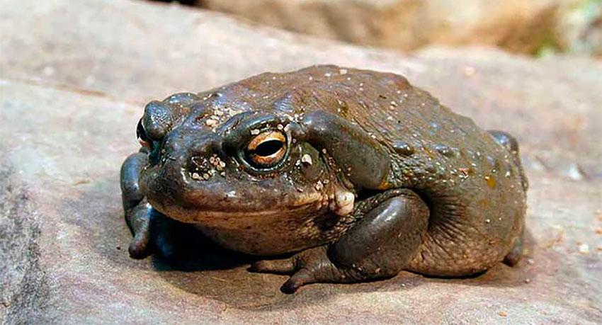 The Colorado River toad