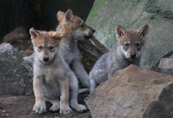 Three of the pups that were born in April at the Mexico City zoo.