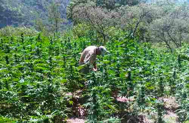 Marijuana 'barely profitable,' says cartel operative.